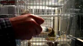 canarios alegres con 20 dias criados a mano