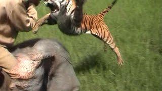 Top Ten Big Cat Encounters In India