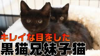 保護された黒猫の子猫兄妹、幸せになるための家猫修行始めます。