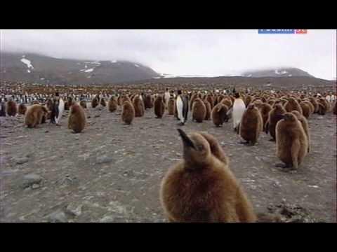 Пингвины. История птиц,