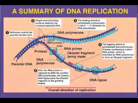 Dna replication leading vs lagging strand youtube dna replication leading vs lagging strand ccuart Gallery