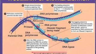 DNA Replication- Leading vs  Lagging Strand