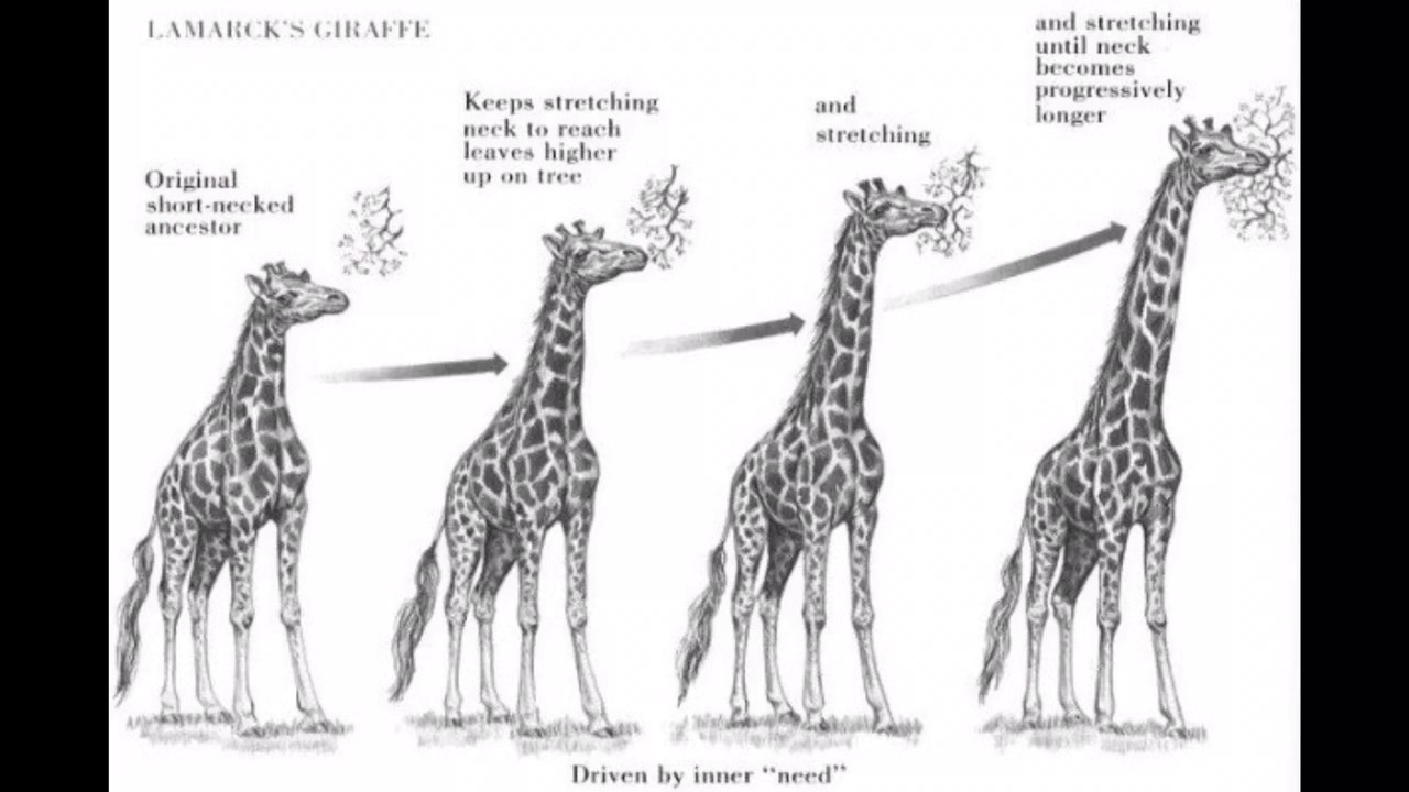 Natural Selection Examples Giraffes