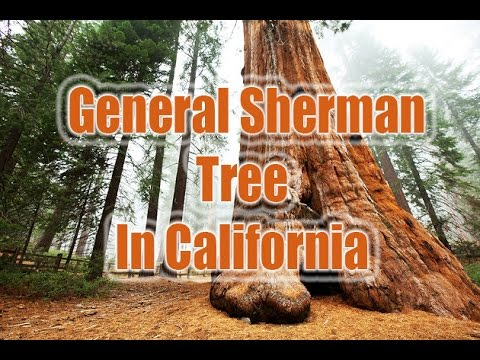 General sherman tree | general sherman in california | tree facts, tree age tree trail