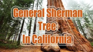 General sherman tree | general sherman in california | tree facts, tree age tree trail