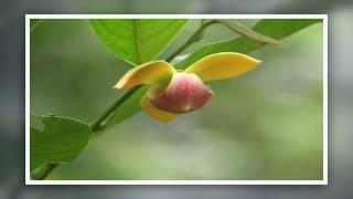 กลาย / กล้วยค่าง/ ลำดวน/   ไม้ดอกหายาก RARE PLANT/HD 1080 (revised)