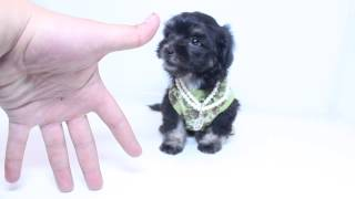 Cute male Morkie Puppy by PuppyHeaven.com