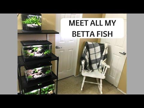 MEET ALL MY BETTA FISH | TANK TOUR