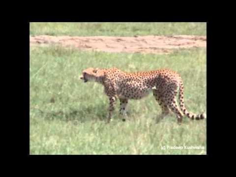 Cheetah chasing Thomson's Gazelle in Ngorongoro Crater