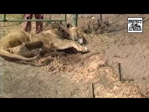 THE TRUTH BEHIND CANNED LION HUNTING