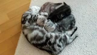 Продажа шотландских котят в Киеве