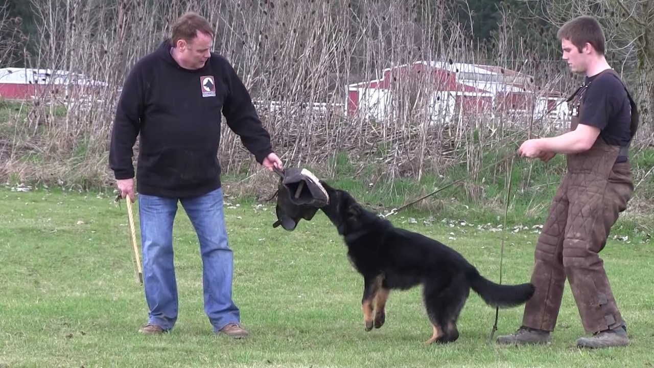 Kraftwerk K9 German Shepherd Active Aggression at 7 Months ...Kraftwerk K9