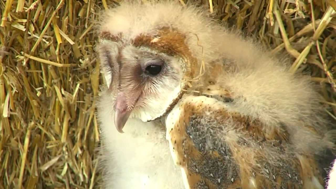 Baby Barn Owl Cincinnati Zoo Youtube