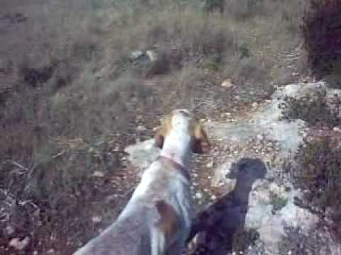 training italian bracco with an  english pointer bitch field trial working dog 30-05-10.mp4