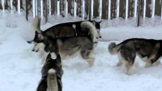雪に顔を突っ込んで遊ぶ あらし、みんなに狩られる.