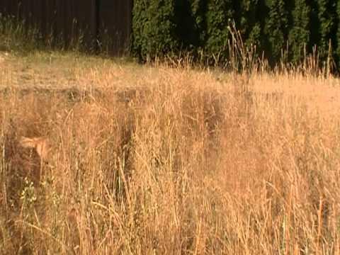 Crazy dog jumps into tall grass