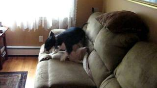 Abby Bull Terrier Hucklebutt
