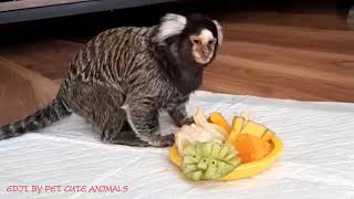 The Marmoset monkey received great care from its owner