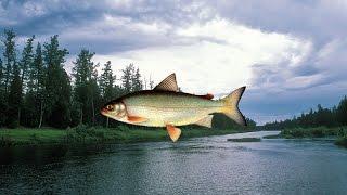 Русская Рыбалка 3.99(Хариус Сибирский) \