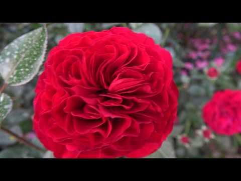 Осеннее цветение роз в Подмосковье. Любимые сорта.