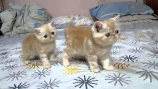 Mèo exotic con