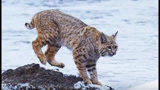 Survie : l'aventure du lynx des Rocheuses - ZAPPING SAUVAGE