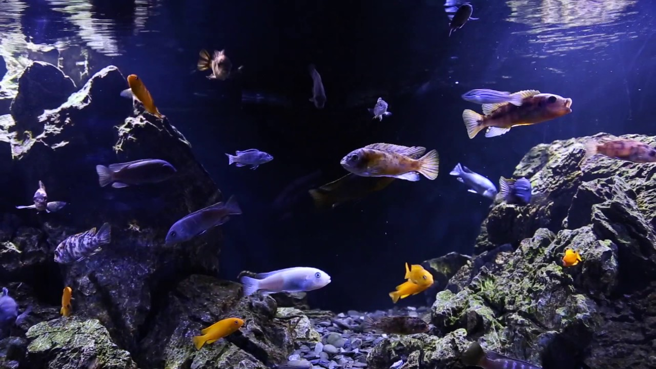 Scott Lynch's Malawi cichlid aquascape - YouTube