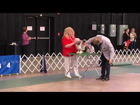 20190621 Löwchen All Breed Judging Henrietta NY WNY Cluster Dog Show Day 1