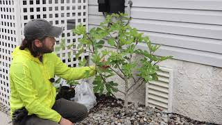 Growing Fig Trees in Coastal Conditions
