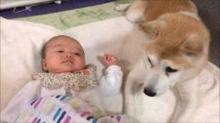 側にいるだけで幸せ♡赤ちゃんが好きすぎる柴犬