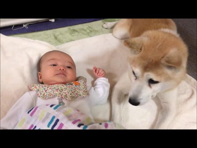 柴犬シン君 赤ちゃんにぴったりと寄り添う犬~Dogs snuggle snugly baby~