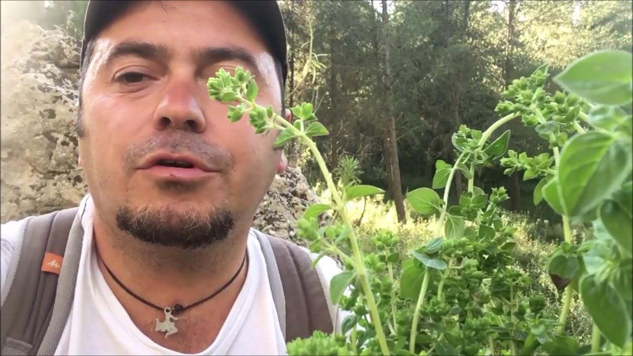 Quando Tagliare L Origano raccogliendo origano in sicilia - picking wild origano in sicily