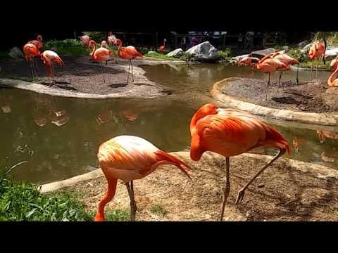 Caribbean Flamingos at Riverbanks...
