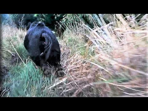 Blooding the knife & dogs view with Gopro