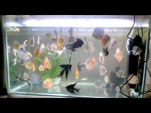 Discus And Angel Fish Tank Youtube