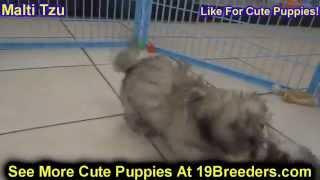 Malti Tzu Puppies Dogs Sale Chicago Illinois Il 19breeders Rockford Naperville