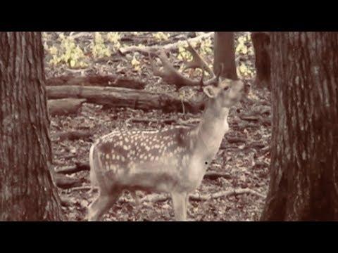 Fallow Deer Bow Hunt W/Hogs - 52.7 Yd Shot!!! Wilderness Hunting Lodge  Monterey, Tenn