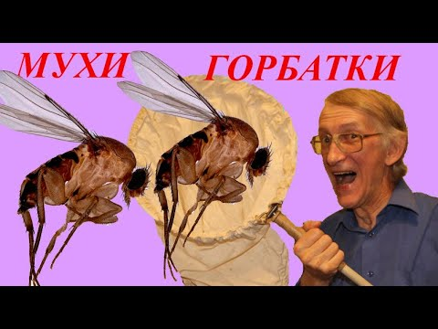 Вопрос: Муха горбатка – чем опасна, где живет, как избежать контакта?