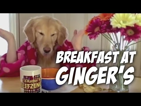 Breakfast at Ginger's- golden retriever dog eats with hands