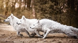 All You Need To Know About The White German Shepherd