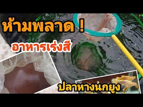 ห้ามพลาด !! อาหารเร่งสี ปลาหางนกยูง เกรด A EP.63