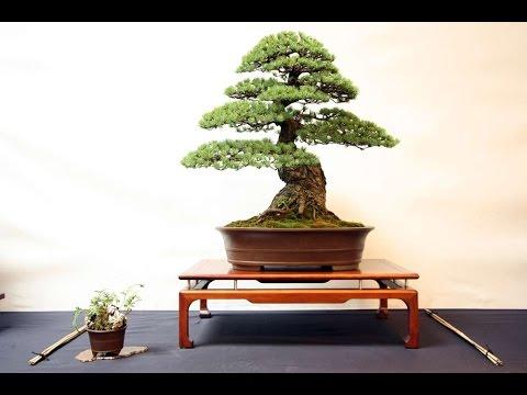 pinus parviflora blauer engel youtube. Black Bedroom Furniture Sets. Home Design Ideas