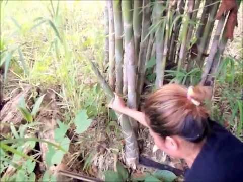 planter une branche de bambou