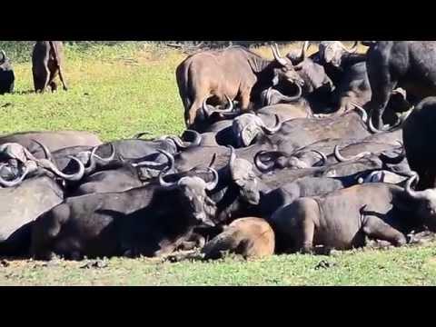 Huge Herd of Cape Buffalo in Kruger Park at Millennium dam