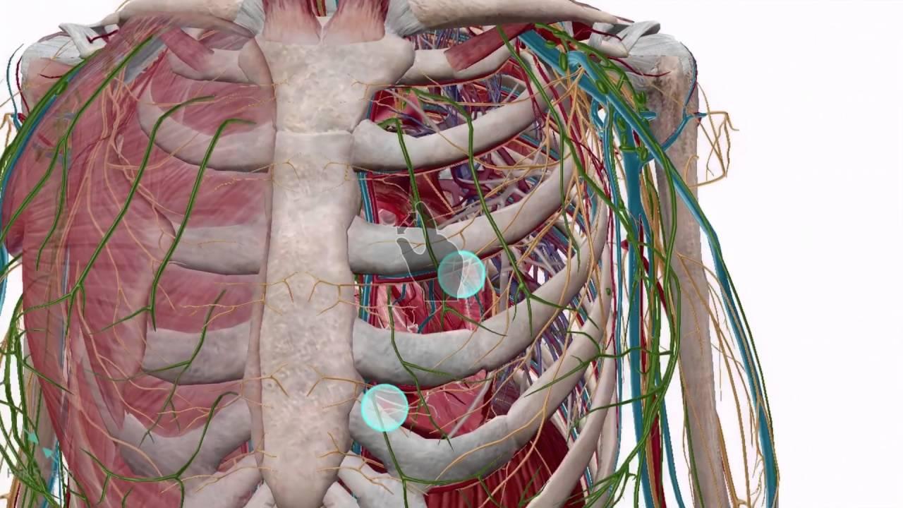 Sich durch den Körper bewegen   Visible Body - YouTube