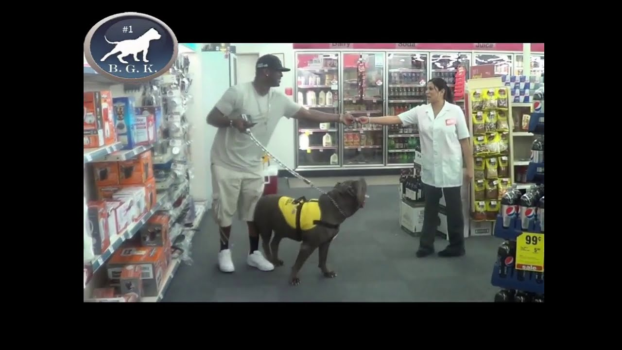 Worlds Scariest Service Dog! Huge blue XL bully pitbull service dog scares people in stores!
