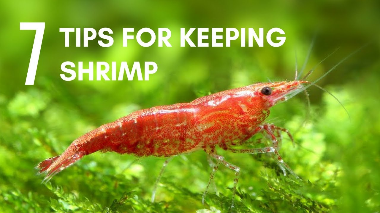 7 Tips For Keeping Shrimp In An Aquarium Youtube