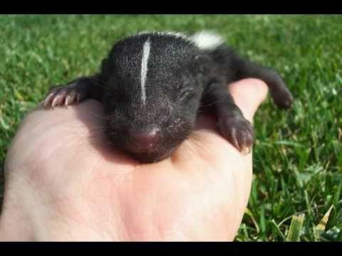 Baby skunk sounds! - YouTube