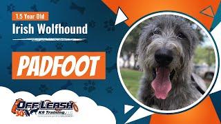 1 1/2 Year Old Irish WolfhoundPadfootBest Dog Trainers Florida