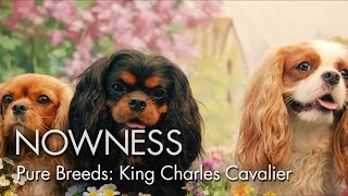 "Pure Breeds Ep.1: ""the Cavalier King Charles Spaniel"" By Graydon Sheppard"